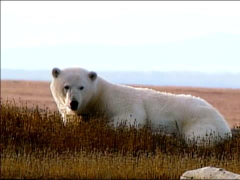 vídeos de stock e filmes b-roll de medium shot polar bear lying in grass / looking at camera / alaska - refúgio nacional do ártico