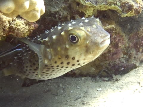 medium shot porcupine fish swims out from under a coral. - puffer fish stock videos & royalty-free footage