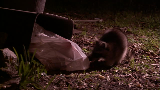 Medium Shot - Raccoon scavenging for food sniffs a trash bag spilling out of a can /