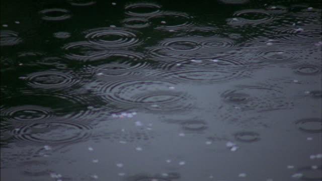 vídeos de stock, filmes e b-roll de medium shot raindrops falling on surface of water / cherry blossoms floating / hikone, japan - pingo de chuva