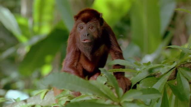 Medium shot red howler monkey sitting in tree / Venezuela