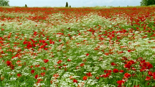 medium shot red poppies waving in the wind in a field of wildflowers in pienza / tuscany, italy - wildflower stock videos & royalty-free footage