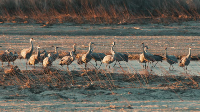 medium shot - sandhill cranes rest and feed near a sandbar in the platte river in the early morning prior to their departure. - sandhill crane stock videos & royalty-free footage