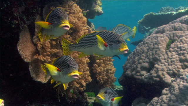 Medium shot school of sweetlips gathered by hard coral / Coral Sea / Australia