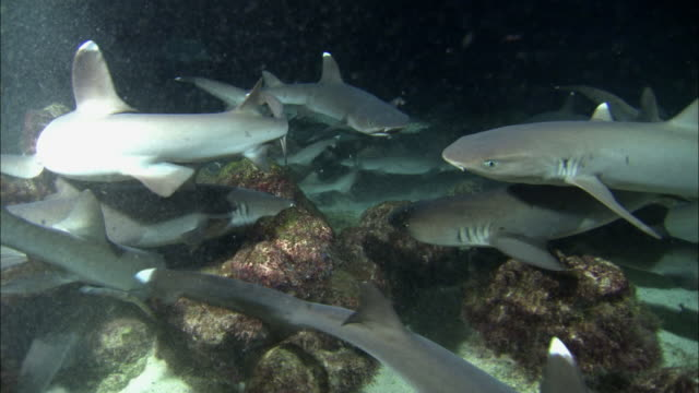 medium shot school of whitetipped reef sharks swimming and chasing small fish / cocos island, costa rica - feeding stock videos & royalty-free footage