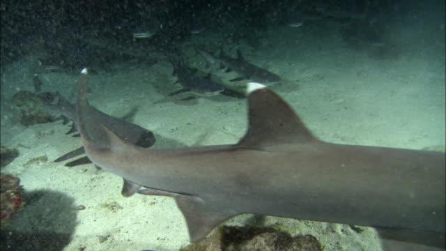 medium shot school of whitetipped reef sharks swimming / cocos island, costa rica - whitetip reef shark stock videos & royalty-free footage