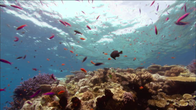 Medium shot schools of antias and other fish swimming above coral / Coral Sea / Australia