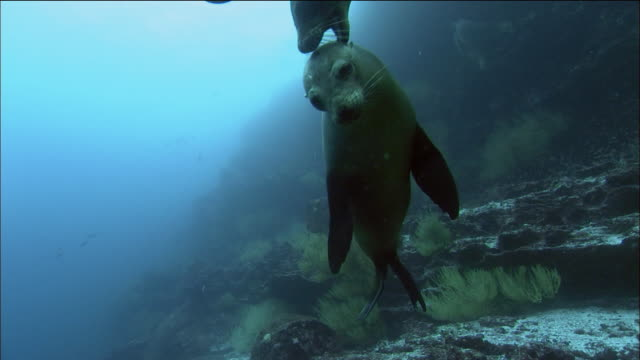 vidéos et rushes de medium shot sea lions swimming and playing with each other / galapagos islands, ecuador - petit groupe d'animaux