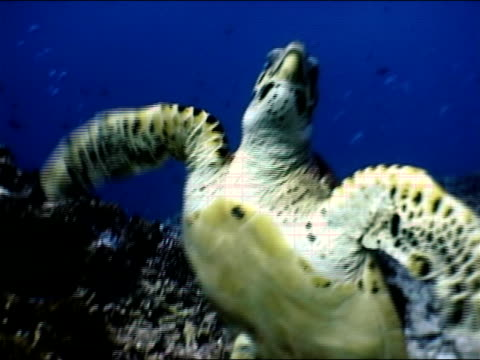 stockvideo's en b-roll-footage met medium shot sea turtle swimming upwards - ongewerveld dier