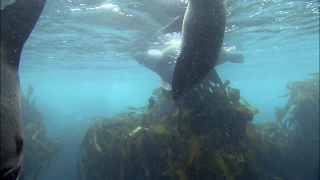 Medium shot seals swimming in kelp near water's surface / Dyer Island, Cape Town, South Africa