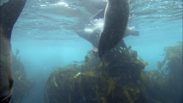 stockvideo's en b-roll-footage met medium shot seals swimming in kelp near water's surface / dyer island, cape town, south africa - kelp