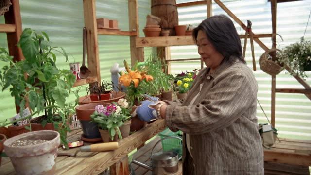 medium shot senior asian woman gardening in greenhouse / des moines, king county, washington, usa - オニユリ点の映像素材/bロール
