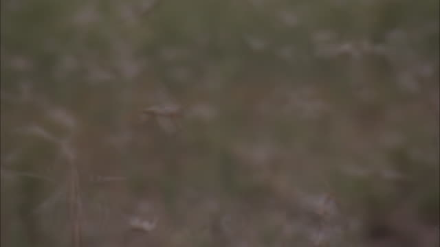 medium shot shaky camera - locusts swarming over and around camera / australia - shaky stock videos & royalty-free footage
