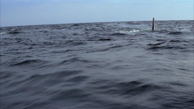 medium shot shark fin moving towards cam in choppy water - animal fin stock videos & royalty-free footage