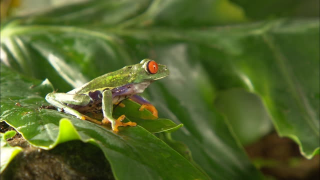 medium shot side angle - red eyed frog jumps from green leaf / costa rica - wet stock videos & royalty-free footage