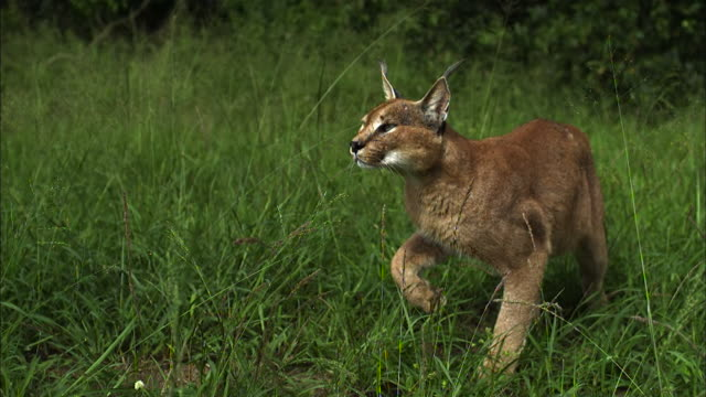 Medium shot, side angle, slow motion; Caracal cat pounces at bird and misses