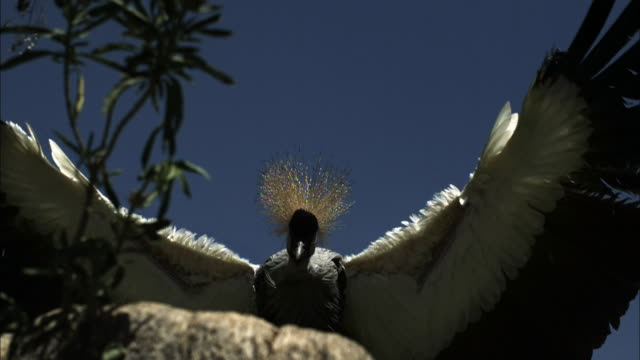 Medium shot, side angle, slow motion; Crowned crane coming in for landing