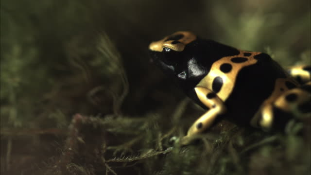 Medium Shot Side Angle Slow Motion - Yellow dart frog runs on dry twigs / Costa Rica