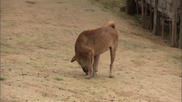 Medium Shot Side Angle - Stray dog sniffs around on dirt road / Bangladesh