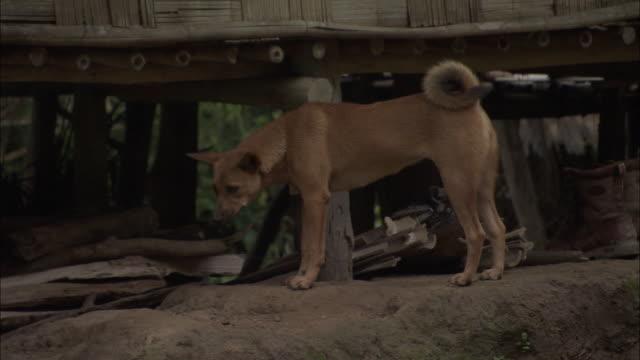 Medium Shot Side Angle - Stray dog wanders around village / Bangladesh