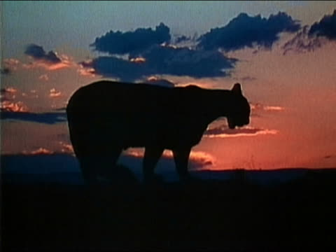 1983 medium shot silhouette of cougar lying down with sunset in background / licking chops / fade to black - fade in video transition stock-videos und b-roll-filmmaterial