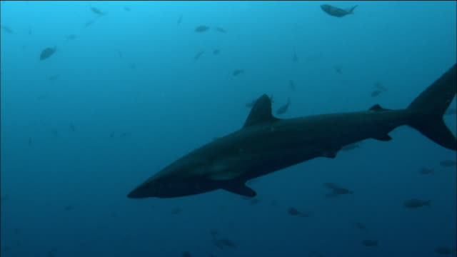 Medium shot silky shark swimming past schools of smaller fish / Galapagos Islands, Ecuador
