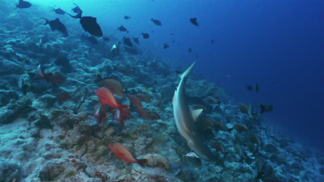 vidéos et rushes de medium shot silvertip reef shark (carcharhinus albimarginatus) grabbing a fish head from a group of fish and then dropping on the sea floor - corail cnidaire