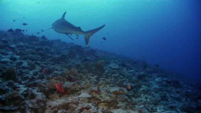 medium shot silvertip reef shark (carcharhinus albimarginatus) swimming among fish on sea floor - ペレスメジロザメ点の映像素材/bロール