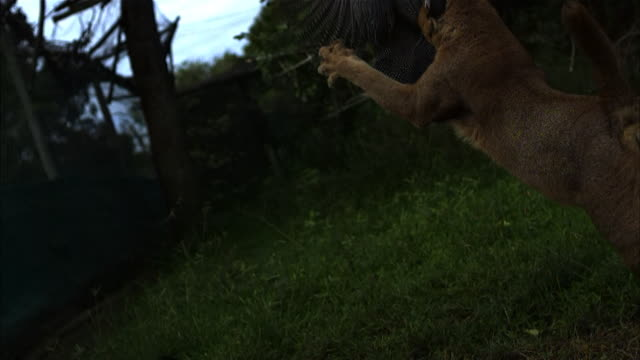 Medium shot, slow motion; Caracal cat launching itself into the air, revealing underbelly