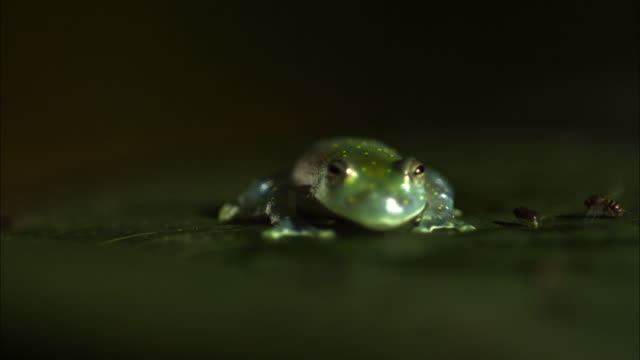 Medium Shot Slow Motion - Glass frog on leaf catches and eats a fly / Costa Rica
