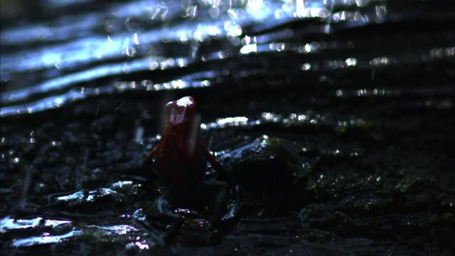 vídeos y material grabado en eventos de stock de medium shot slow motion - poison dart frog leaps on the ground in the rain / costa rica - rana