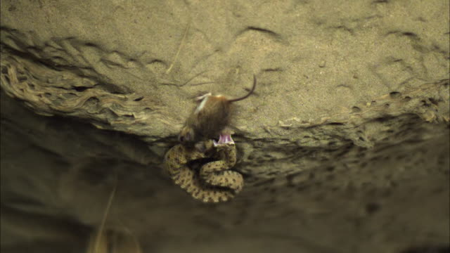 Medium shot, slow motion; sidewinder strikes and releases rat which scurries away, filmed upside down
