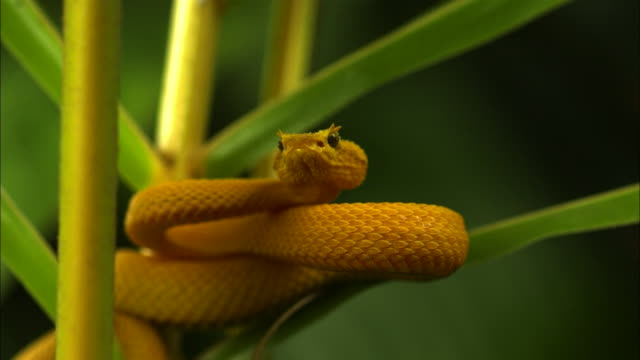 medium shot slow motion - yellow eyelash viper flicks tongue and lunges down / costa rica - viper stock videos & royalty-free footage
