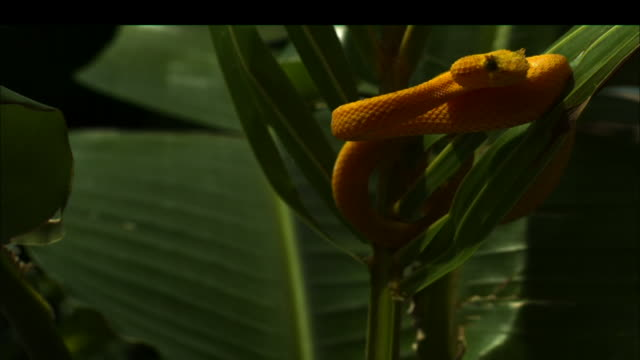 Medium Shot Slow Motion - Yellow eyelash viper flicks tongue while coiled in plant that is slowly spinning around / Costa Rica