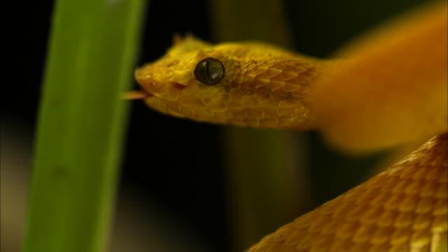 Medium Shot Slow Motion - Yellow eyelash viper's jaws open wide as it strikes something off-camera / Costa Rica