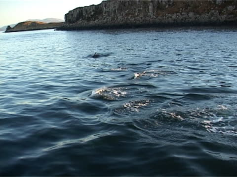 Medium shot small pod of Bottlenose dolphins surfacing with evening light highlighting their blows and coast behind