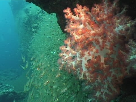 medium shot soft coral and shoal of glass fish behind - soft coral stock videos & royalty-free footage
