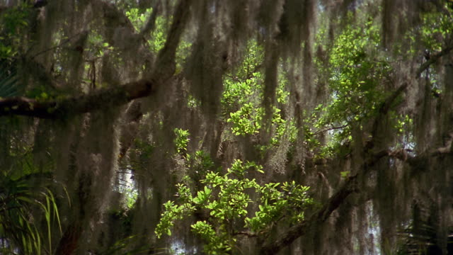 medium shot spanish moss hanging from trees and blowing in breeze / florida everglades - spanish moss stock videos & royalty-free footage