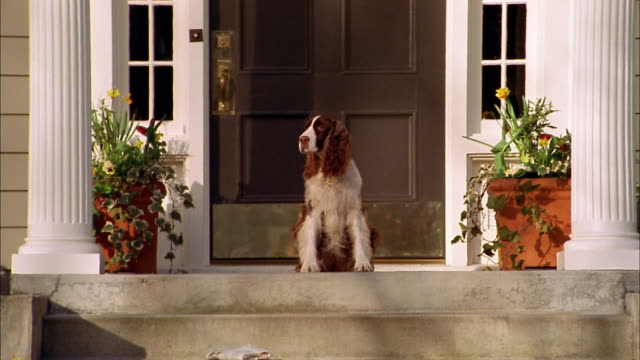 medium shot springer spaniel sitting on porch by front door / seattle, washington - spaniel stock videos and b-roll footage