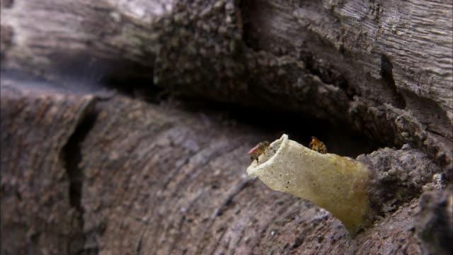 stockvideo's en b-roll-footage met medium shot - stingless bees take flight from nest tunnel on a rock / costa rica - middelgrote groep dieren