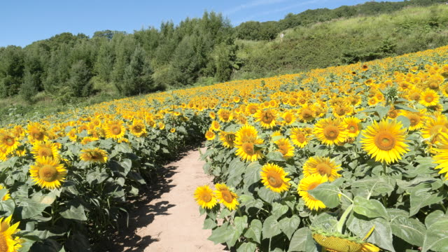 medium shot, sunflower field in kitakata - satoyama scenery stock videos and b-roll footage