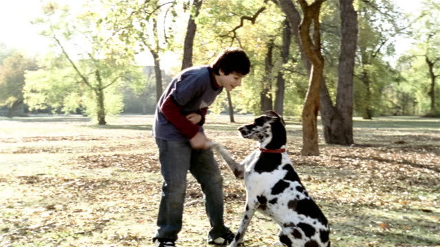 medium shot teenage boy playing with great dane in park on autumn day / shaking dog's paw / using treat to make dog jump - canine stock videos & royalty-free footage