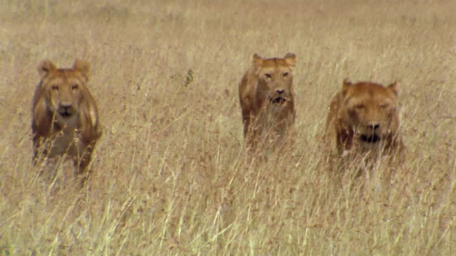 Medium shot three lionesses running through tall grass / zoom out approaching two resting lions / Africa