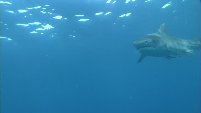 Medium shot tiger shark swimming toward CAM from right / hitting CAM with mouth / Durban, South Africa