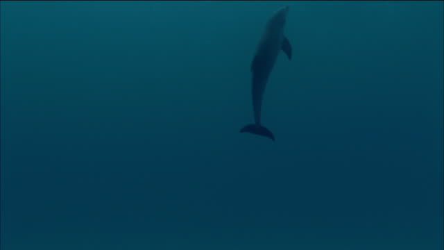 medium shot tilt up dolphin swimming up towards surface of water away from cam - aquatic organism stock videos & royalty-free footage