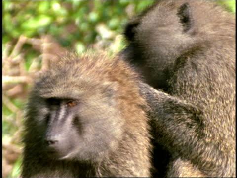 Medium shot tilt up one baboon grooming another / Tanzania
