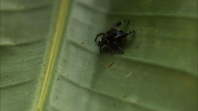 Medium Shot Tilt Up Slow Motion - Jumping spider crawls on a leaf / Costa Rica