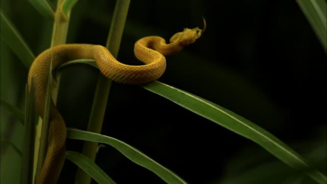 Medium Shot Tilt Up Slow Motion - Yellow eyelash viper coiled around green plant stalks looking for prey / Costa Rica