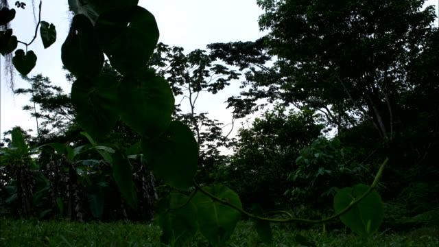 vídeos de stock e filmes b-roll de medium shot, time lapse; clouds moving overhead visible through vegetation - árvore tropical