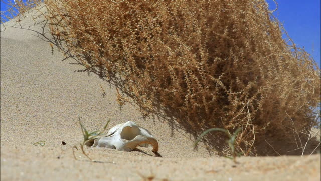 Medium shot, time lapse; desert sand blows over white animal skull